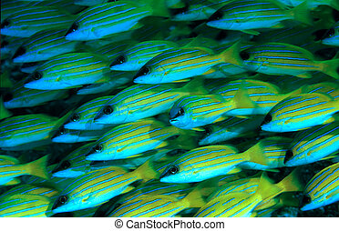Blue stripped Snappers with one fish looking at camera