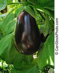 Eggplant Vine - Eggplant growing on the vine
