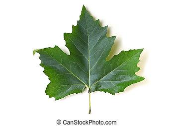 Maple leaf - green maple leaf