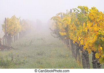 Fog in wineyards - heavy fog over wine grapes fields