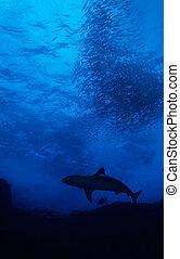 鯊魚, 誘餌, 球