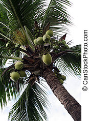 kokosnuss, Handfläche, baum