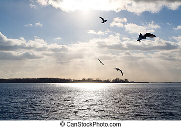 Gulls over a sunlit lake - Seagulls fly over Lake Ontario,...