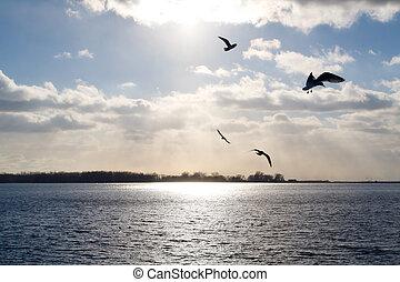 Gaviotas, encima, iluminado por el sol, lago