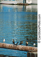 seabirds in the harbor - a seabirds in Santa Cruz harbor