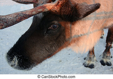 Reindeer - Close-up of a reindeer