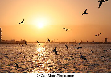 sea gull in gulf - sea gull in arabian gulf