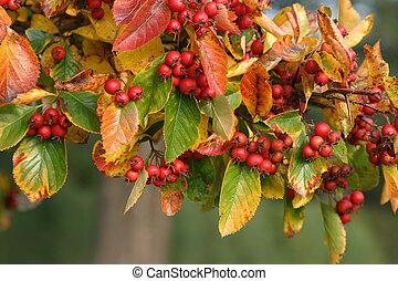 otoño, bayas