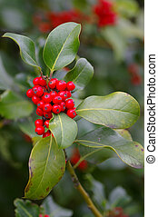 Xmas Holly 01 - A branch of a holly bush showing the holly...