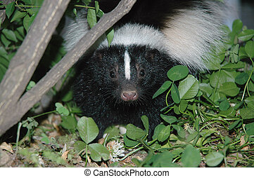 Skunk Head Shot - Niagara Region; Skunk Photo ; Close-up