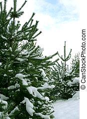 Christmas Trees 2 - Natural Christmas Trees 2