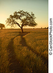 Lonely tree (2) - Farm field