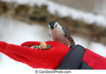 Nuthatch Bird Eating - Close-up photo of a nuthatch bird...