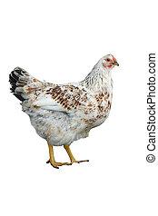 branca, galinha, 2