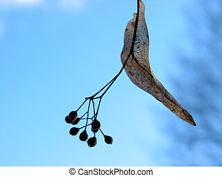 Linden tree seed - Closeup on linden tree seeds on blue sky...