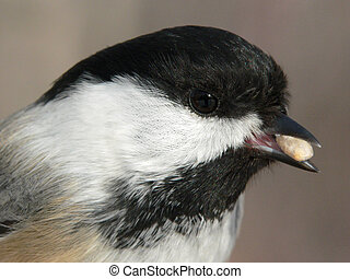 Black-capped Chickadee Closeup - Head of Black-capped...