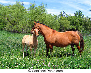 Mare and Foal - Quarter horse mare and foal out in the...