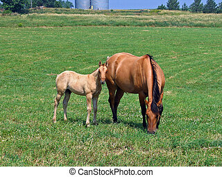 Mare and Foal - Mare and foal grazing in the pasture