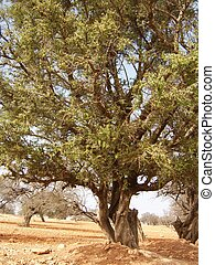 Desert Tree - Wild desert tree in the desert of morocco.
