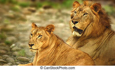 Lions - A couple of Lions