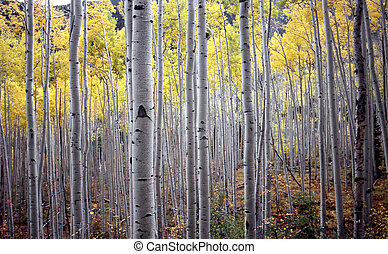 aspen trees in fall october