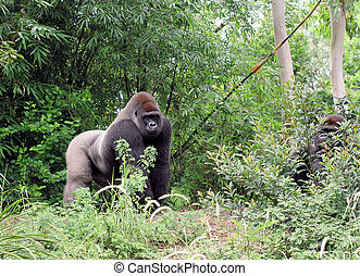 Gorilla looking out in his surroundings