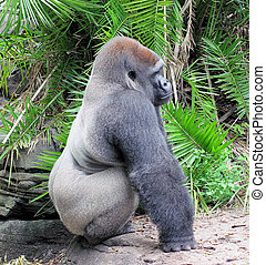 Gorrila sitting - Gorilla sitting and resting
