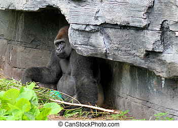 Gorilla looking out from over hang