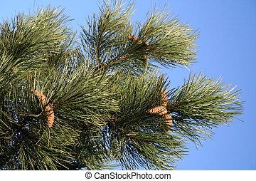 Pine Cones in winter