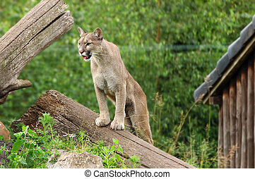 Puma, cougar - Close-up shot of a roaring puma, cougar in a...
