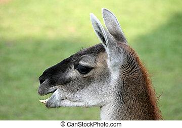 Lama - Nice lama