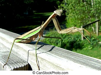 Praying Mantis on railing.