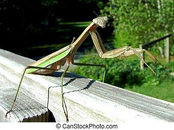 Praying Mantis on railing.