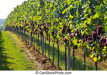 Wine grapes rows - rows of wine grapes in backlight