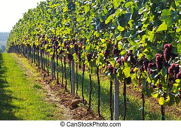 vino, uvas, filas