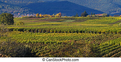 Wineyards in autumn - Autumn wineyards panoramic picture