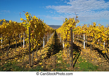 Golden wineyards - rows of yellow wine grapes
