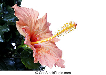 Hibiscus Hedge - Isolated hibiscus flower andfoliage