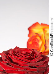 zweifAtilde;curren;rbige Rose - two colored...