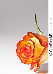 yellow, orange rose - gelb, orange Rose - two colored Rose...
