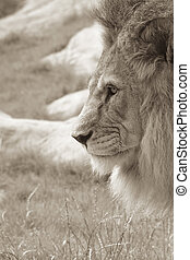 Lion Profile - Sepia side profile of an African male lion