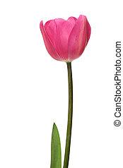 rose, tulipe