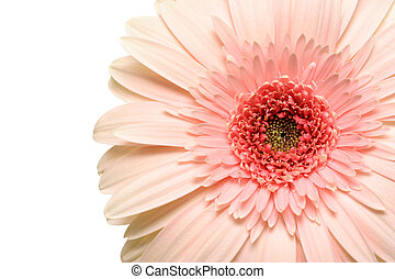 pink daisy - gerbera macro over white with shallow dof