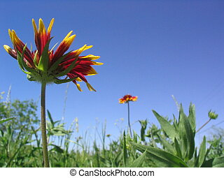 """Blanket Flowers - Red and yellow \""""Blanket Flower\""""..."""