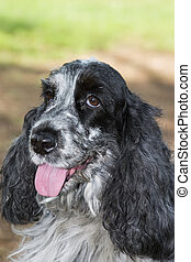 beautiful cocker spaniel black and white