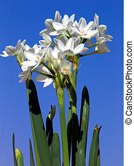Paperwhite Narcissus - Narcissus tazetla against a deep blue...