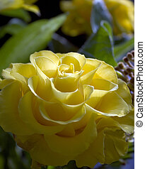 rose - yellow rose