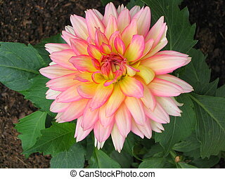 Pink Dahlia - A striking pink and yellow Dahlia.