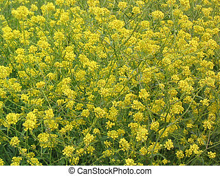 Yellow Wildflowers - A dense field of lacy, yellow...