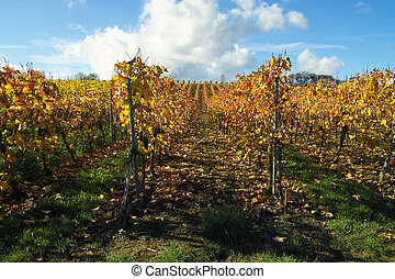 Rows of grapes - rows of wine grapes